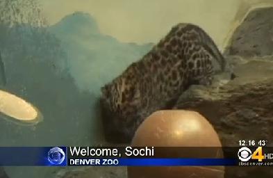 Sochi - Amur leopard cub