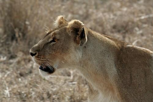 Serengeti Lioness Source
