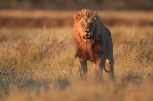 Lion at Gemsbokvlakte Source