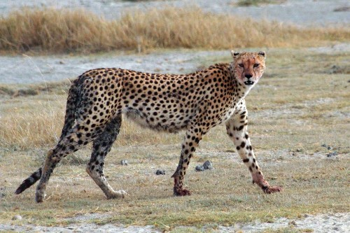 A Cheetah (Acinonyx jubatus) walking at Ngorongoro Crater, Tanzania. Source