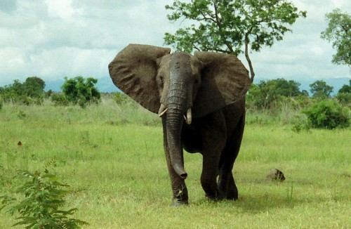 African Bush Elephant in Mikumi National Park, Tanzania