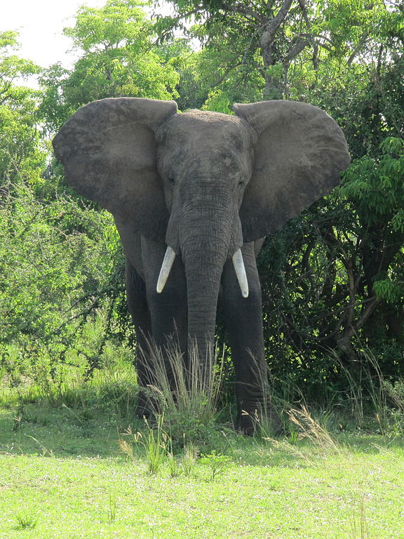 Elephant in Murchison Falls National Park Source