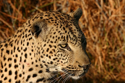 African Leopard (Panthera pardus) in Northern Sabi Sand, South Africa. Source