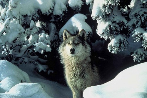 An endangered gray wolf peers out from a snow covered shelter. Photo by Brooks Tracy, U.S. Fish and Wildlife Service (public domain)