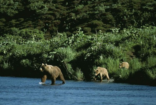 Kodiak or Alaskan Grizzly (Ursus arctos middendorffi) bear mother and cubs. Source