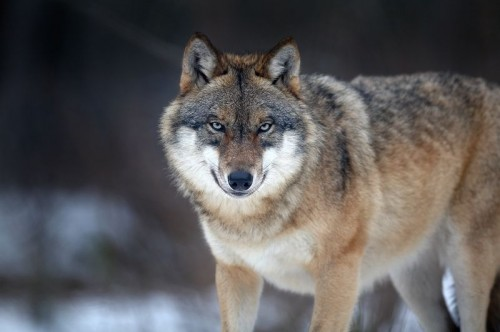 Canis lupus, Nationalpark Bayerischer Wald, Deutschland. Photo by Martin Mecnarowski.