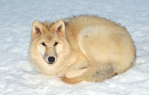 800px-Canis_lupus_arctos