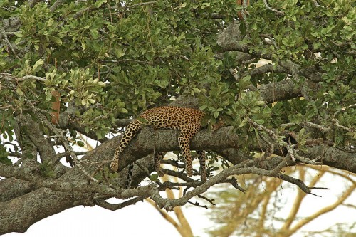 African Leopard (Panthera pardus pardus) in Serengeti, Tanzania. Source
