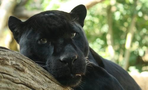 Black Jaguar (Panthera onca) Source