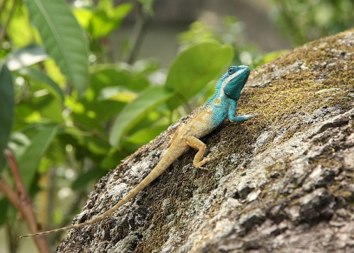 A Blue-crested lizard (Calotes mystaceus) in Keibul Lamjao National Park, Bishnupur district, Manipur, India. Source