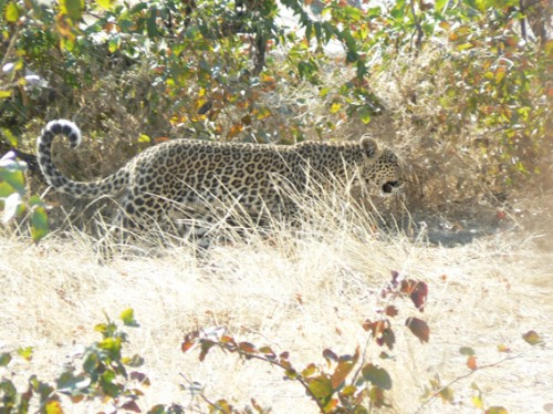 African Leopard (Panthera pardus pardus) in Namibia. Source