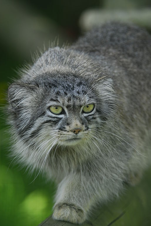 Pallas cat residing at Wildlife Heritage Foundation, Smarden, Kent.