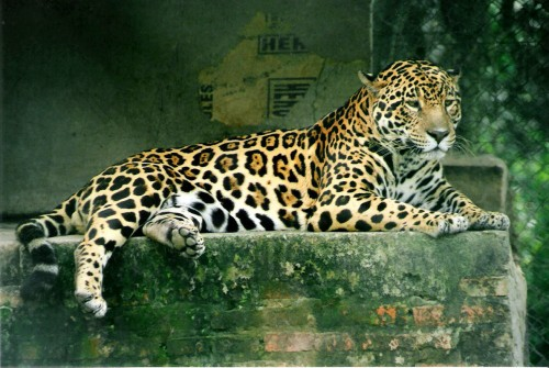 A jaguar (Panthera onca), in a wildlife rescue & rehabilitation center in Formosa Province, Argentina. Source