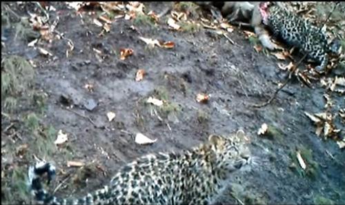 Amur Leopard Family