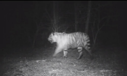 Tiger Captured in Game Camera During Leopard Study