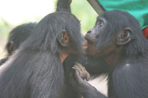 Bonobos kissing