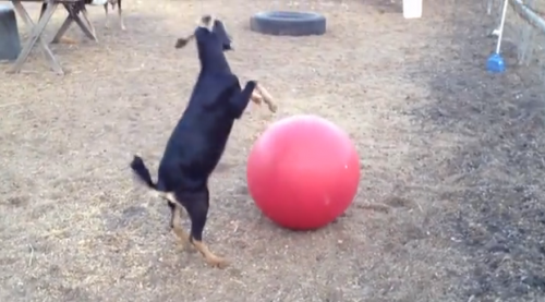 goat yoga ball