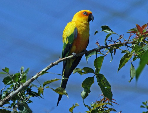 Sun Conure, also known as Sun Parakeet (Aratinga solstitialis), Birds of Eden aviary in South Africa. Source
