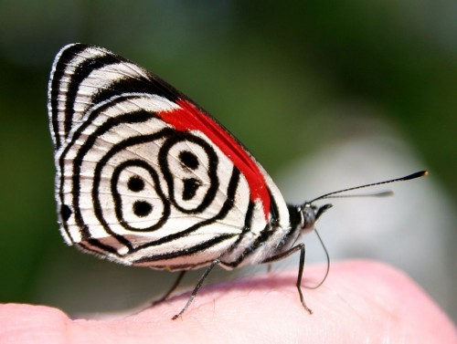 Eighty-eight Butterfly (Diaethria anna). Photograph taken above the Iguazú Falls in Argentina. Source