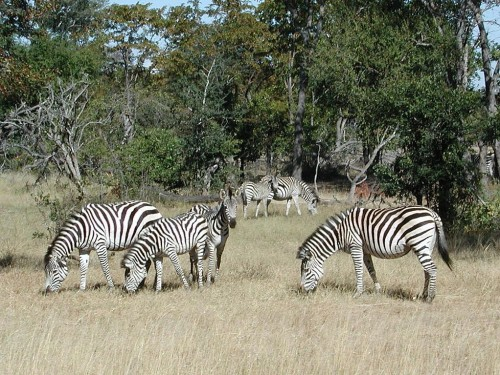 Plains zebras (Equus quagga boehmi), Mosi-oa-Tunya National Park, Zimbabwe. Source