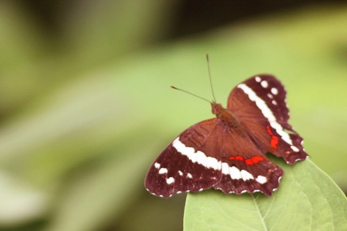 Banded peacock butterfly (Anartia fatima), Costa Rica. Source