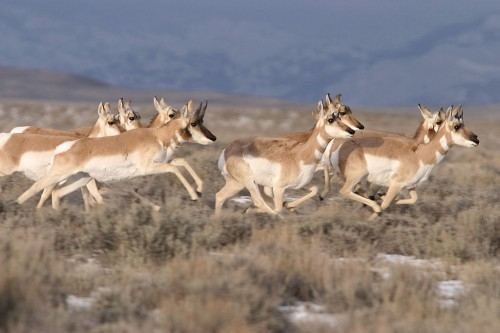 Pronghorn antelope on the move. Source