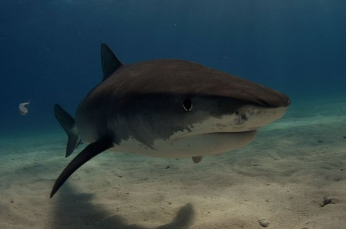 Tiger shark in the Bahamas Source