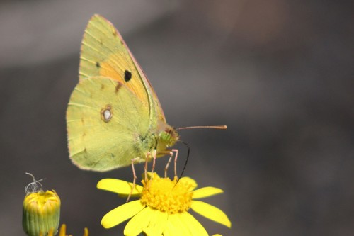 Clouded yellow butterfly, Colias croceus, taken on the Northern slopes of Mount Etna in Sicily. Source