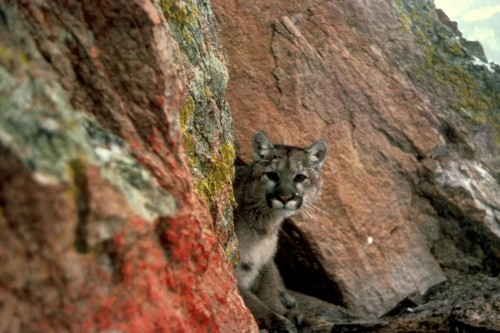 Cougar (Puma concolor) Source