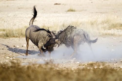 Blue wildebeest battle for dominance in Etosha National Park. Source