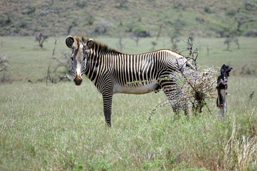 Grevy's zebra (Equus grevyi) stallion in Kenya.  Grevy's are the most endangered zebra species. Source