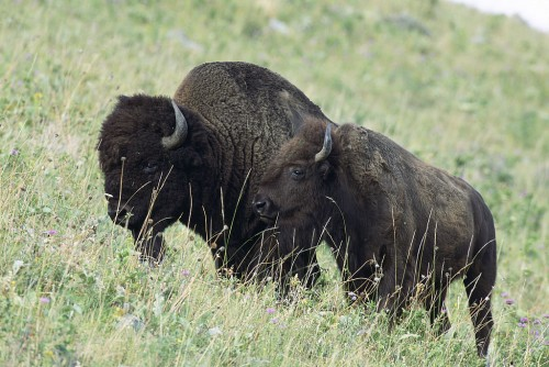 American bison on the National Bison Range in Montana. Source