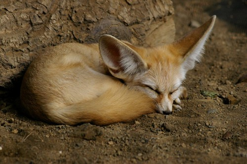 Fennec fox (Vulpes zerda) Source