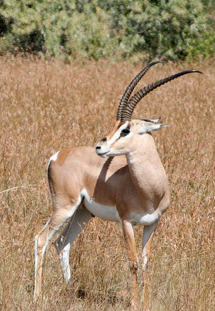 Grant Gazelle in the Masai Mara, Kenya. Source