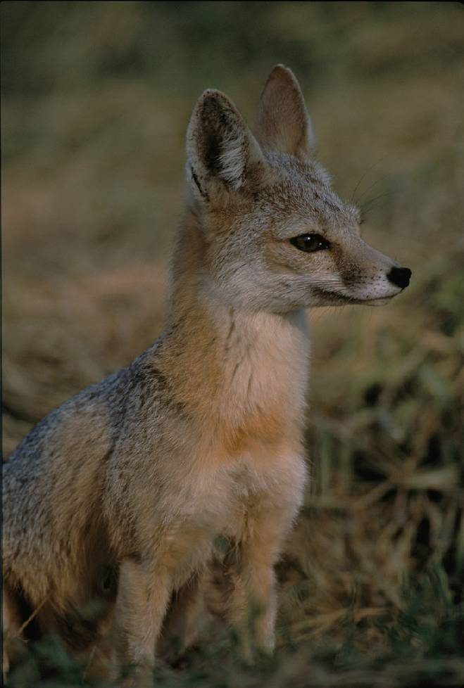 Kit Fox (Vulpes macrotis mutica) Source