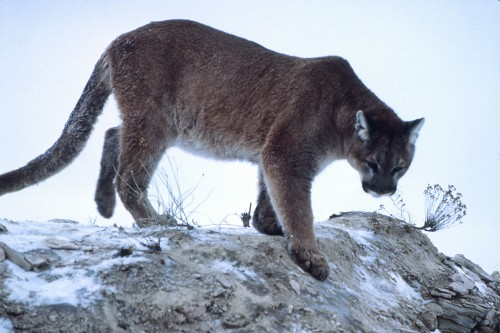 Mountain lion (Puma concolor), Yellowstone National Park Source