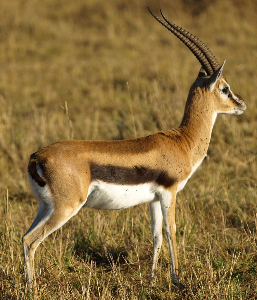Thomson's Gazelle at Masai Mara, Kenya. Source