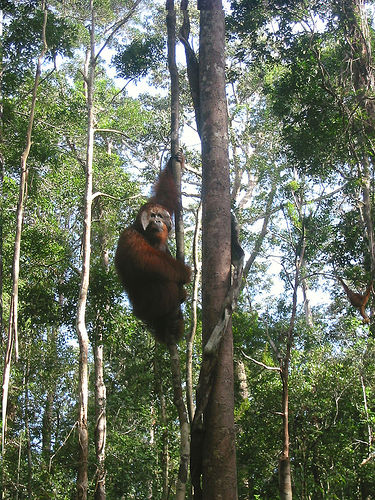 "Win the ""King"" Orangutang in Tanjung Puting National Park. Picture taken in 2005. Source"