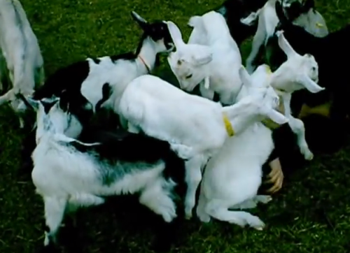 baby goat pile