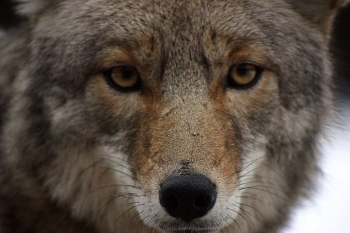 Coyote Eyes Source