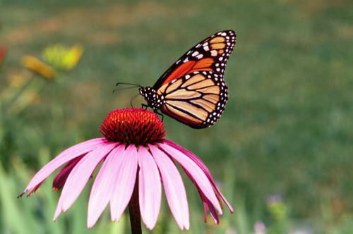 A monarch butterfly collects nectar from a flower.  USDA photo by Forest Service
