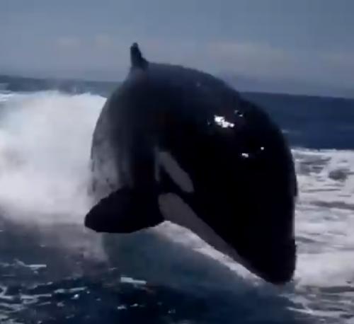 surfing killer whale