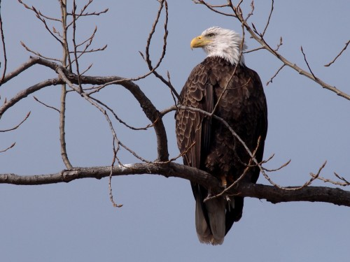 Bald Eagle Source