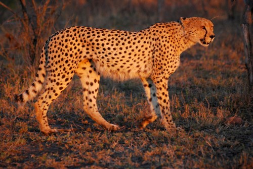 Cheetah in the Hluhluwe-Umfolozi Game Reserve, South Africa, at sunset. Source
