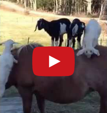 baby goats and pony video