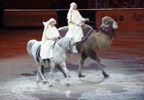 camel dressage 2
