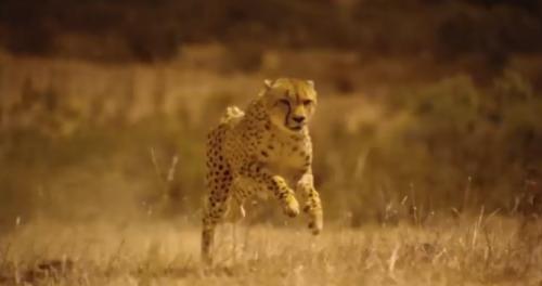outrun-cheetah