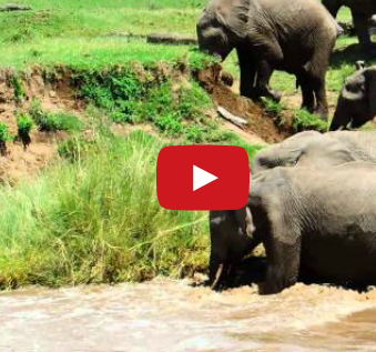 elephants saving baby elephant