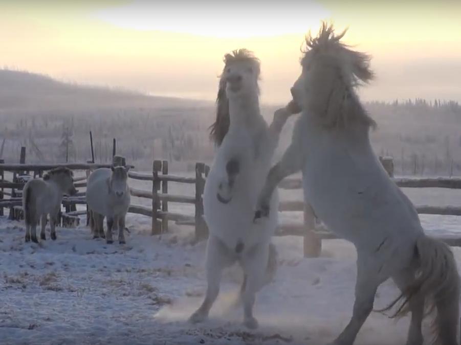 Yakutian horse stallions