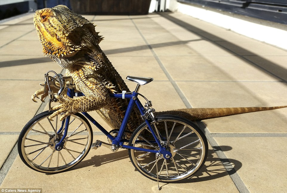 bearded-dragon-bike